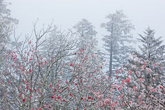 Snow Flocked Trees in Fog Royalty Free Stock Photos