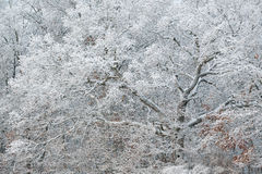 Snow Flocked Trees Stock Image