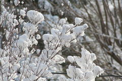 Snow FLower. Heavy snow clinginf to a bush Stock Photo