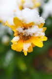 Snow on flower Royalty Free Stock Image