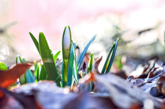 Snow Flower bud Stock Images