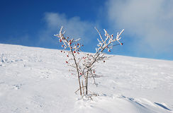 Snow-flower tree Stock Image