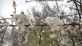 Snow on a flowering spring tree video 4k. This is a beautiful natural video of Snow On A Flowering Spring Apricot Tree 4k Video...Really nice natural video with stock video footage