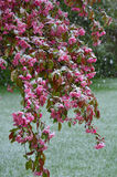Snow on flowering tree Stock Photos