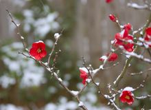 Snow on Flowers. Closeup of snow on red flowers Stock Photo