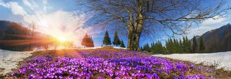 Snow flowers - Crocuses Stock Photos