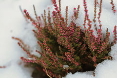 Snow flowers of heather. Snow flowers of pink heather Stock Images