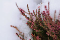 Snow flowers of heather. Snow flowers of pink heather Royalty Free Stock Photo