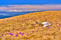 Snow and flowers are in spring mountains Stock Photo