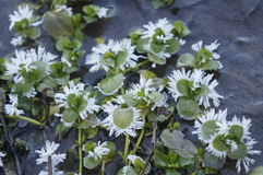Snow flowers. In the winter river Royalty Free Stock Photo