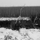 Snow in wetlands with grasses Stock Photos