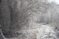 Snow flurry. There was fresh snow from the last night all over the trees. Upcoming wind makes marvellous snow flurry royalty free stock image