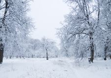Snow forest. Trees in the forest covered by the snow Royalty Free Stock Images