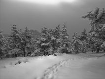 Snow forest. Black-and-white forest with snow in winter Stock Image