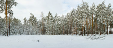 Snow forest. Beautiful winter snow forest. East Europe Royalty Free Stock Photo