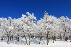 Snow Forest on Clear Blue Sky Stock Photos