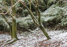 A dusting of snow on the forest floor. Snow on the forest floor after the winter storm in southern Japan royalty free stock photo