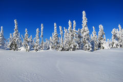Snow Forest Royalty Free Stock Image