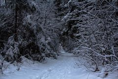 Snow forest in January frosts Stock Photo