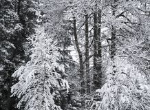 Snow in a forest royalty free stock photos