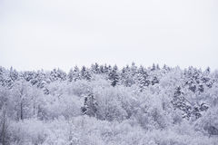 Snow forest. Trees in forest covered with snow Stock Photo