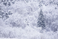 Snow forest. Trees in forest covered with snow Royalty Free Stock Photos