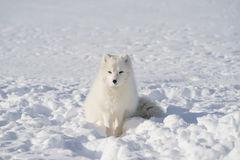 Snow fox Stock Photo