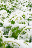 Snow on fresh leaves Royalty Free Stock Photo