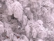 Snow fringe. Fluffy white snow on pine branches. White fringe. Winter frosty tale stock photography