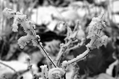 Snow and Frost in Black and White. Twig almost completely covered with frost and snow - black and white photo Royalty Free Stock Image