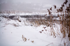 Snow and frost on cane on a frozen river. Overcast snowy weather Royalty Free Stock Photography