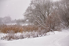 Snow and frost on cane on a frozen river. Overcast snowy weather Royalty Free Stock Photo