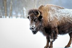 Frosty Bison. Snow and frost covered American Bison stands in an open field Royalty Free Stock Images