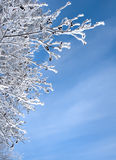 Snow-frost covered branch. Snow-frost branches in winter sun day Stock Photography