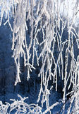 Snow-frost covered branch of birch. Snow-frost branches of birch in winter sun day Royalty Free Stock Image