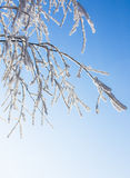 Snow-frost covered branch of birch. Snow-frost branches of birch in winter sun day Royalty Free Stock Images