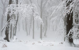 Snow and Frost Covered Forest Trees Royalty Free Stock Photography