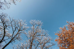 Snow and frost covered locust trees, profiled on bright sky in winter. In a park Royalty Free Stock Photo