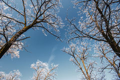 Snow and frost covered locust trees, profiled on bright sky in winter Royalty Free Stock Photo
