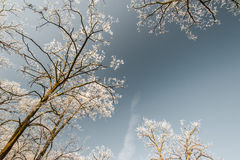 Snow and frost covered locust trees, profiled on bright sky in winter. In a park Stock Photo