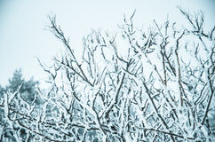 Snow and frost covered pine trees Royalty Free Stock Image
