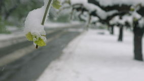 Snow, frost in late spring during the flowering of trees. Branches with green leafs under the snow. Abnormal natural stock footage