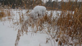 Snow and frost on the plants. Overcast snowy weather. Close up grass and reed under snow. stock footage