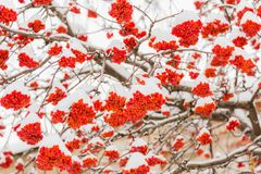 Snow and frost on the tree branches. Ripe bunches of Rowan. Winter day royalty free stock photo