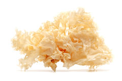 Snow fungus Stock Image