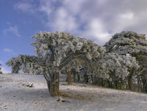Snow furs. Pine with snow in winter Royalty Free Stock Images