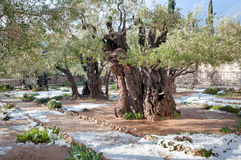 Snow in the Garden of Gethsemane. Courtyard of the Church of All Nations. Ancient olive trees on the site of Gethsemane Royalty Free Stock Photography