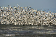 Snow geese Royalty Free Stock Images