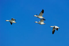 Snow Geese Royalty Free Stock Photos