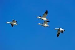 Snow Geese Royalty Free Stock Photos